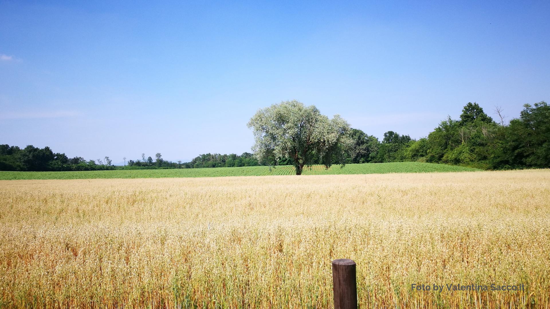 Campo coltivato con albero